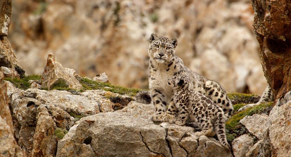 Dawa and her cub - Snow Leopard