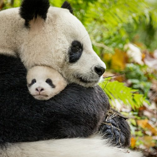 Disneynature Born in China Movie Review
