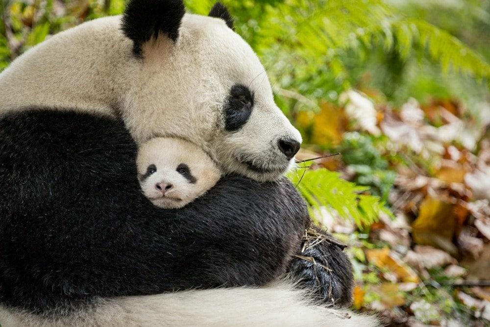 YaYa and MeiMei - Pandas