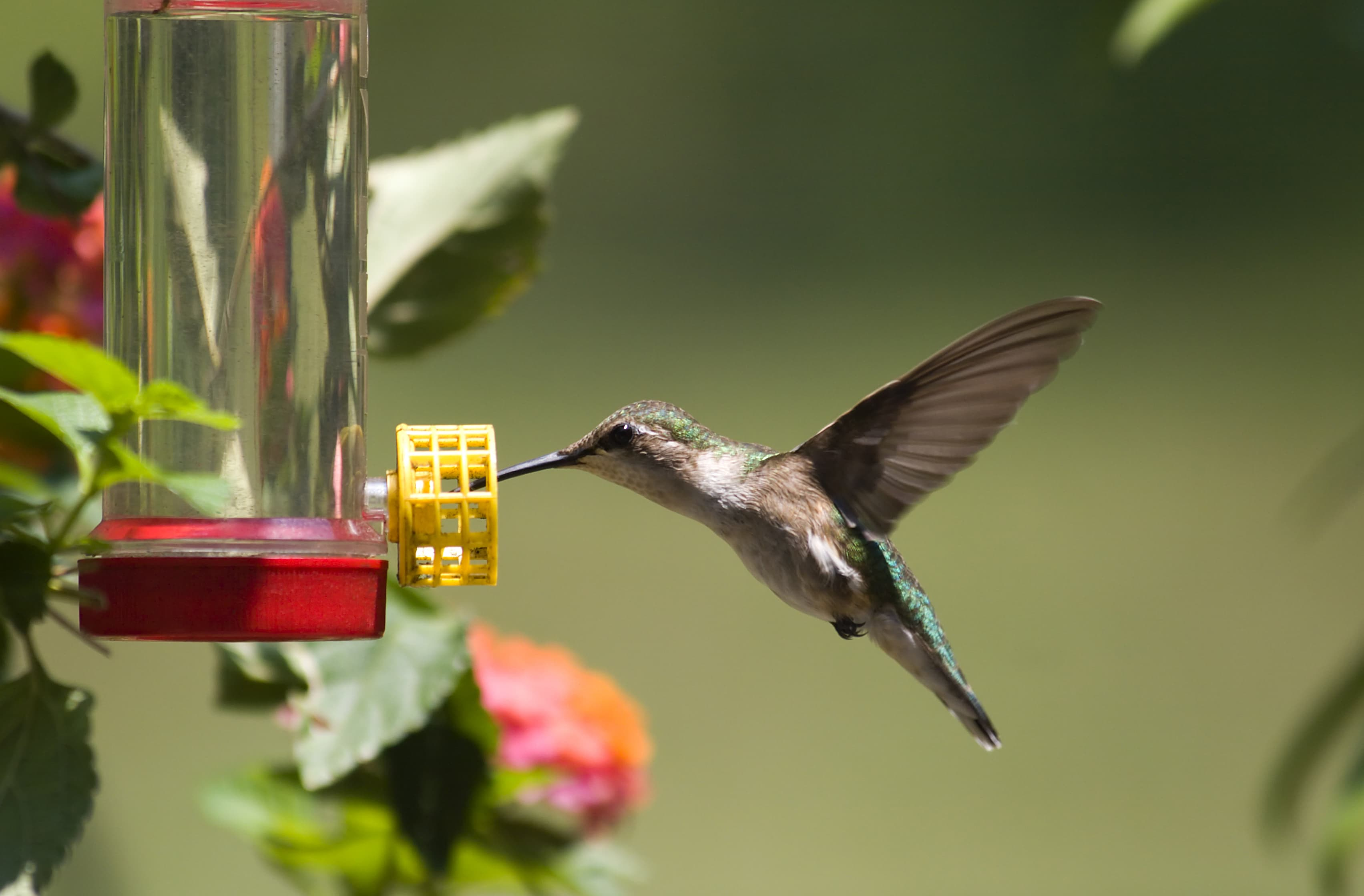picture relating to Printable Hummingbird Nectar Recipe known as Home made Hummingbird Feeder Recipe