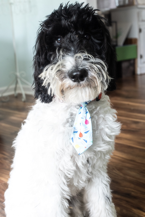 a black and white sheepadoodle wearing a party tie on his collar